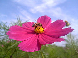 250px-Cosmos_and_bee