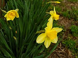 250px-Narcissus_2005_spring_001