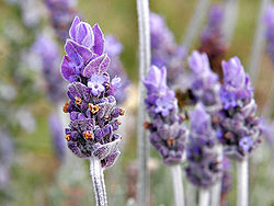 250px-Single_lavendar_flower02